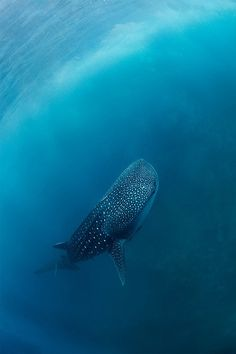 Whale Shark - please can i spot one with my next dive pleeeaaaaasssseeee