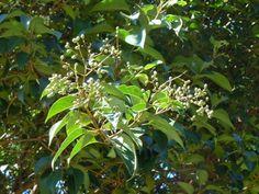 planta invasora na cidade de São Paulo -alfeneiro (Ligustrum sp.)