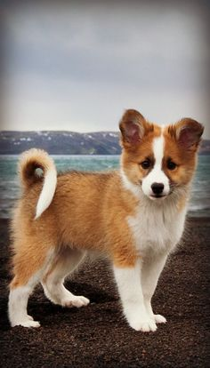 Brought to Iceland by the Vikings - This is the Icelandic Sheepdog (puppy)