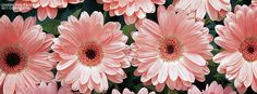 Get this Pink Daisies Facebook Covers for your profile from Get-Covers.com.