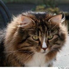 What Are the Differences Between Maine Coons and Norwegian Forest Cats? Maine Coon cats and Norwegian Forest cats look very similar, and some experts that Pretty Cats, Cute Cats, Cat Years, F2 Savannah Cat, Siberian Cat, Norwegian Forest Cat, Maine Coon Cats, Domestic Cat, Cat Breeds