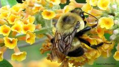 A new study shows it's not just neonicotinoids that impair bees' ability to navigate to nectar and pollen sources, and to their nests: now the herbicide glyphosate has been found to have the same impact even at very low levels. Honey Bee Sting, Bee Do, I Love Bees, Bee Friendly, Pest Control, Sea Creatures, Mammals, Butterflies, Learning