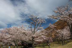 137:「数種類の桜の咲く公園で4月上旬はソメイヨシノが見頃でした。」@さくらの里