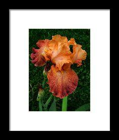 iris, orange, flower, nature, bloom, blossom, michiale schneider photography