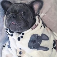 Balou Blue, the French Bulldog Animals And Pets, Baby Animals, Cute Animals, I Love Dogs, Puppy Love, Animal Pictures, Cute Pictures, Pug Puppies, Fur Babies