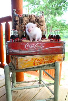 Piglet on the porch in a Coca Cola box