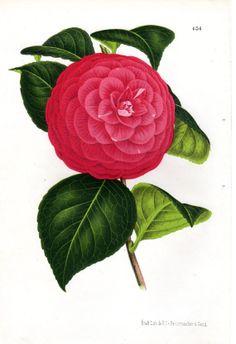1873 Camellia Print Pink Botanical Antique by AntiquarianPrints, $40.00