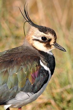 Avefría (Vanellus Vanellus)