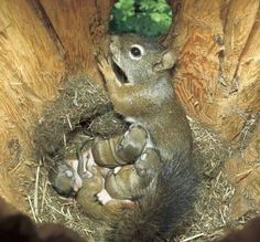 Photo by Sumio Harada/Minden Pictures.A red squirrel nurses her babies in the comfort of a snag hole. Cavity-raised squirrels are nearly twice as likely to survive as those raised in treetop nests. Cute Baby Animals, Animals And Pets, Funny Animals, Beautiful Creatures, Animals Beautiful, Beautiful Babies, Beautiful Kittens, Beautiful Family, Eastern Gray Squirrel