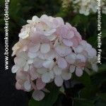 Close up van een Vanille Fraise Hydrangea Paniculata, Up, Vegetables, Plants, Vegetable Recipes, Plant, Veggies, Planets