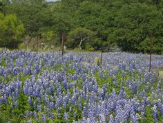 Don't miss the Bluebonnets this year - April 10th seems to be the date the experts are saying they will be in full bloom. While you're here be sure and take a wine tour with us - we have short and long tours as well as connoisseur tours.