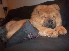 Yogi ... Sleepy ... Chow Chow