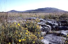 Mullach Mor, the celebrated heart of the Burren National Park. Shrubby cinquefoil in bloom.