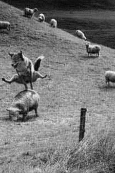 What sheep dogs do to keep from getting bored. 'Oh boy,oh boy, lets play leap sheep. Animals And Pets, Funny Animals, Cute Animals, Tier Fotos, Belle Photo, Funny Photos, Old Photos, Make Me Smile, Animal Pictures