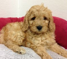 Petland Overland Park & Oathe Kansas City has Goldendoodle puppies for sale! Interested in finding out more about the Goldendoodle? Goldendoodles For Sale, Mini Goldendoodle, Walled Lake, Dog Health Tips, Pets For Sale, Community Service, Poodle, Cute Puppies, Michigan