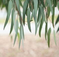 Eucalyptus, a native of Australia, is a fast growing invasive tree. There are hundreds of different kinds of Eucalyptus and it holds a reputation for growing in the harshest of outdoor climates-snow laden mountains to steamy, dry deserts. Eucalyptus Plante, Eucalyptus Leaves, Leave In, Cold Home Remedies, Herbal Remedies, Tree Leaves, Plant Leaves, Fast Growing Evergreens, Motif Floral