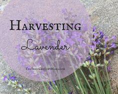 Harvesting_Lavender