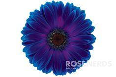 Wholesale Dark Blue and Purple Bi Color Enhanced Gerbera Daisies - 50 stems from Rose Nerds