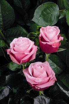 rosas mesclada - Pesquisa Google