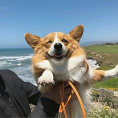 Awesome corgi info is available on our website. Cute Corgi Puppy, Corgi Dog, Cute Dogs And Puppies, Baby Puppies, I Love Dogs, Cute Little Animals, Cute Funny Animals, Cute Creatures, Animals And Pets