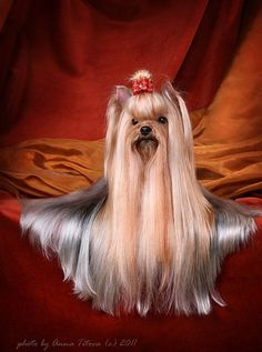 show yorkie, can you imagine the hours of grooming on this pretty?