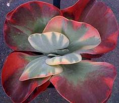 Kalanchoe thrysiflora Desert Rose - love colors and how this grow! - looks like butterfly within butterfly within butterfly...