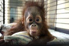 Hello! Four-month-old orangutan Rizki is seen inside his cage at the Surabaya Zoo in Surabaya, Indonesia, on Oct. 10.
