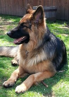 Long haired German shepherd...9 months old