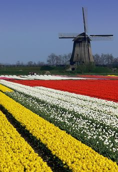 Field of tulips growing by an old windmill in Holland
