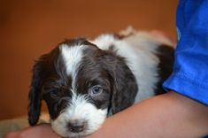 Crockett Doodles - Family Raised Doodle Puppies for Sale , Sproodle Puppies, Mixed Breed Puppies, Kittens And Puppies, Puppies For Sale, Bernedoodle Puppy, Mini Goldendoodle, Labradoodle, Goldendoodles, Maltipoo