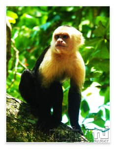 Wachya Lookin At... Monkey in Manuel Antonio National Park.  Quepos, CR