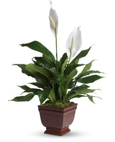 Of all the flowering house plants, Peace Lily care may be the easiest. Get tips for caring for peace lily plants, how to coax flowers, water and fertilize. Begonia, Peace Lily Care, Flowering House Plants, Blooming Plants, Mini Orquideas, Peace Lily Plant, Air Cleaning Plants, Decoration Plante, Gardens