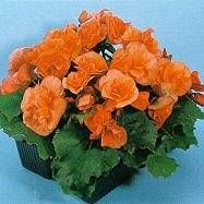 my fave color of begonia