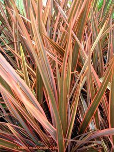phormium tenax   jungle   Pinterest   Plants, Coastal ...