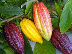 Flavors of Brazil: The Roots of Chocolate - The Cacaueiro Trees of . Theobroma Cacao, Fruit And Veg, Fruits And Vegetables, Brazilian Fruit, Strange Fruit, Cooking Chocolate, Cacao Chocolate, Cacao Beans, Beautiful Fruits