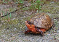Rare Species | Once a fairly common species in Massachusetts this turtle is now rare ...