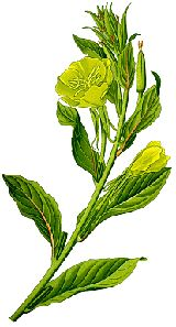Evening Primrose Oil has been called the most sensational preventive discovery since vitamin C. It is currently being studied all over the world as a treatment for aging problems, alcoholism, acne, heart disease, hyperactivity in children, symptoms of menopause, multiple sclerosis, weight control, obesity, PMS and schizophrenia.