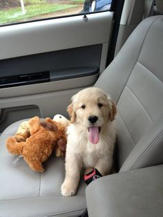 "Car rides are better with stuffed animals by your side."" Pets Who Really, REALLY Want To Go For A Car Ride Perros Golden Retriever, Golden Retrievers, Cute Puppies, Dogs And Puppies, Doggies, Shelter Puppies, Baby Animals, Cute Animals, Buzzfeed Animals"