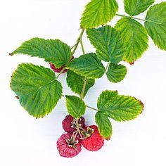 Small Space Raspberry | 'Raspberry Shortcake' Raspberry | Sunset.com