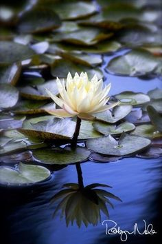 LOTUS....BY ROBYN NOLA PHOTOGRAPHIC ART......ALSO ON PINTEREST......