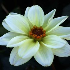 Finest Collection of Dahlias in the UK & Europe Rock Garden Plants, Garden Types, All Flowers, Beautiful Flowers, Dahlia Flowers, Roses, Growing Dahlias, White Dahlias, Herbaceous Perennials
