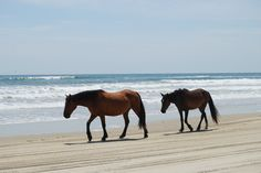 Wild horses of Carova Beach, NC. June 2016