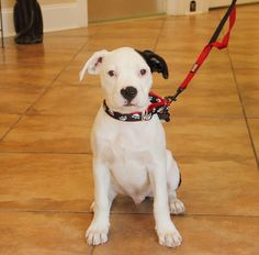 Ace, black and white Pit Bull puppy ( American Staffordshire Terrier )
