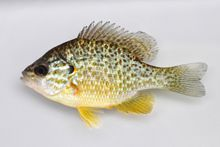 Pumpkinseed Sunfish (Female) - Lepomis gibbosus  Pumpkinseed sunfish are one of Ohio's more colorful sunfish. Their native range extends further north than any other Lepomis sunfish species.