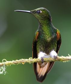 Buff-Tailed Coronet (Hummingbird) (120 pieces)