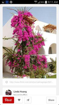 Pink bougainvillea tree.