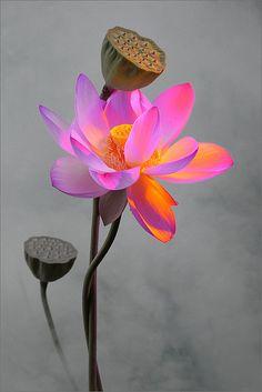 studioview:  Flower by Bahman Farzad on Flickr. Lotus