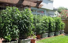 TOTALLY interesting -- A Revolutionary Way To Grow Tomatoes! Why you should plant everything in a homemade EarthTainer.
