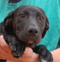 Mandy likes to be held and comforted, hearing your words of praise and reassurance. She is a Labrador Retriever mix puppy with a wonderful disposition, 4 months of age, good with other dogs, now spayed and debuting for adoption at Nevada SPCA (www.nevadaspca.org). Mandy needed us due to her previous owner's financial hardship.