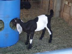 The next goat feeder. This page has a very good ideas for feeders.